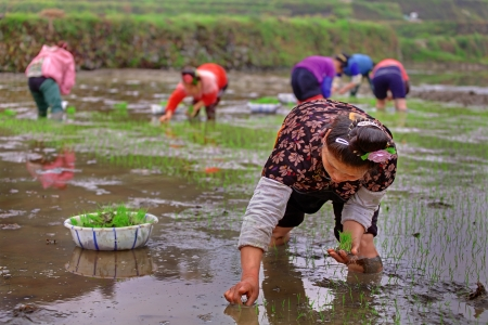 Xijiang village, Leishan County, Guizhou, China - April 18, 2010: Spring planting rice in Guizhou Province, April 18, 2010. Chinese woman stands knee-deep in water of rice field and holding a rice seedlings.