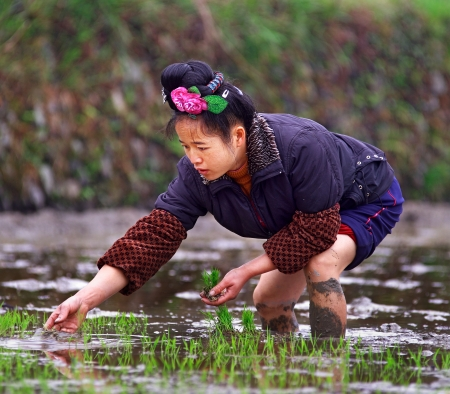 GUIZHOU, CHINA - APRIL 18: Spring field work in rice fields of China, April 18, 2010. Woman with rose in her hair, stands knee-deep in water, and is holding rice seedlings. Xijiang, Leishan County.