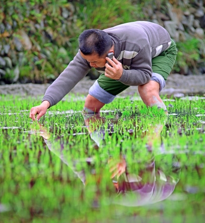GUIZHOU, CHINA - APRIL 18: Spring Planting rice in the rice paddies of China, April 18, 2010. Chinese peasant farmer planting rice seedlings in a paddy-field. Xijiang village, Leishan County.