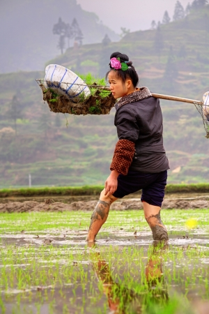 GUIZHOU, CHINA - APRIL 18: Season rice planting in Chinese province of Guizhou,  April 18, 2010. Young woman farmer is in rice field with cargo rice seedlings on his shoulder.