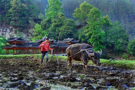 Langde Village, Guizhou, China - April 15, 2010: Chinese plowman plowing rice field, using the power of the buffalo, Langde Miao Nationality Village, Leishan County, near Kaili,  Guizhou, China - April 15, 2010. 新聞圖片