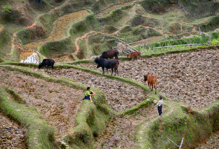 Guizhou, China - April 10, 2010  Countryside mountain China, children of Asian peasants farmers, cows graze on rice terraces, April 10, 2010  Basha Village, Congjiang County  Rural China, farmland in the mountainous region, arable land and pastures