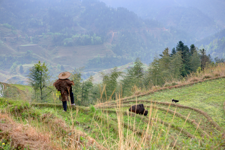 Yao Village Dazhai, Longsheng, Guangxi Province, China - April 3, 2010: Farmland, agricultural mountain landscape in the countryside of China, one unidentified man shepherd, herding cows in the rice terraces. Asian man in a traditional Chinese hat, and an