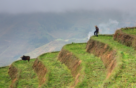 Yao Village Dazhai, Longsheng, Guangxi Province, China - April 3, 2010: Rice terraces near Guilin, highlands, spring, an unidentified man shepherd, herding cows on the hillside. Stock Photo - 25386134