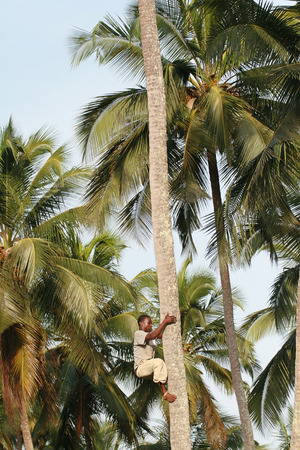 approximate: Zanzibar, Tanzania - February 18, 2008: One unknown young African man, approximate age 25-30 years climbs palm tree.