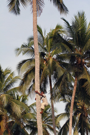 approximate: Zanzibar, Tanzania - February 18, 2008: One unknown young African man, approximate age 25-30 years, climbs up the coconut palm. Editorial