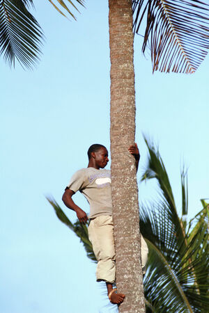 unknown age: Zanzibar, Tanzania - February 18, 2008: One unknown young African man, approximate age 25-30 years climbed a palm tree. Editorial