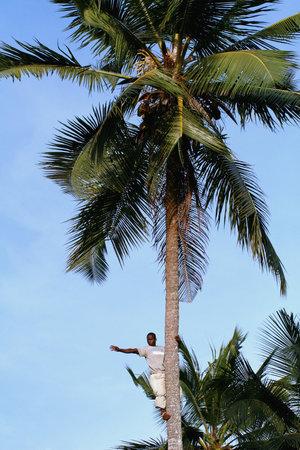 scrambling: Zanzibar, Tanzania - 18 FEBBRAIO 2008: Un ignoto giovane africano, et� approssimativa 25-30 anni agita la mano dalla cima di un albero di cocco.