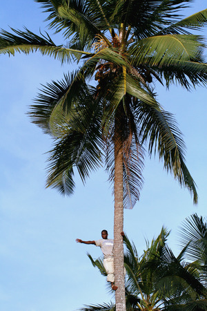 unknown age: Zanzibar, Tanzania - February 18, 2008: One unknown young African man, approximate age 25-30 years  waves his hand from the top of a coconut tree.
