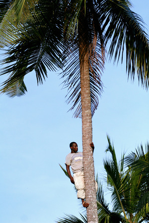 approximate: Zanzibar, Tanzania - February 18, 2008: One unknown young African man, approximate age 25-30 years is on top of coconut tree.  Illustration for editorial use. Editorial