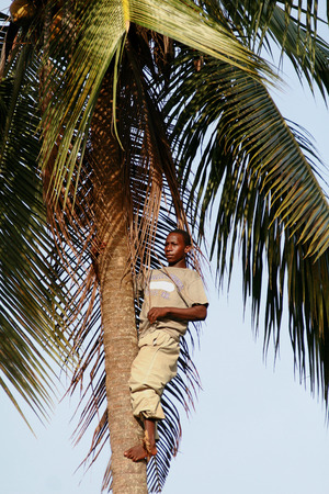 climbed: Zanzibar, Tanzania - February 18, 2008: One unknown young African man, approximate age 25-30 years climbed to the top of a palm tree.