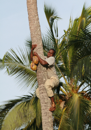 approximate: Zanzibar, Tanzania - February 18, 2008: One unknown young African man, approximate age 25-30 years down from palm trees with coconut in hands.