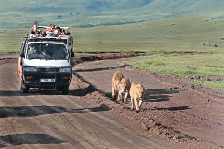 escorted: TANZANIA, NGORONGORO CONSERVATION AREA - FEBRUARY 13, 2008  Jeep safari in Ngorongoro, Tanzania, tourists escorted family of lions  Jeep with tourists rides for three wild African lions walking along the road  Editorial Use Only