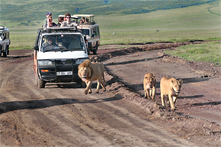 TANZANIA, NGORONGORO CONSERVATION AREA - FEBRUARY 13, 2008  Tourists at jeeps, watching savage African lions in the wild  European tourists in Africa, on a jeep safari look at life wildlife  Editorial Use Only  報道画像