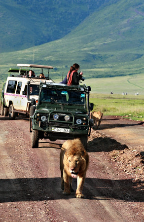 varmint: TANZANIA, NGORONGORO CONSERVATION AREA - FEBRUARY 13, 2008  Jeep safari jeeps to tourists, travelers, surrounded by family of wild African lions  Europeans on the tour of the national park, take pictures of predatory animals  Editorial