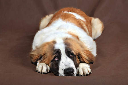deplorable: Sad breed dog Saint Bernard is resting, lying down, resting his head on his paws, studio photo on a brown background. Stock Photo
