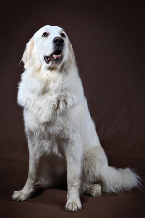 sitting up: Golden Retriever adult dog, sitting up straight with front paws apart, front view, studio shot, on dark brown background.