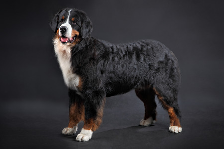 Pet, a large shaggy dog,  Bernese Mountain Dog Studio, portrait on black background standing in full length.