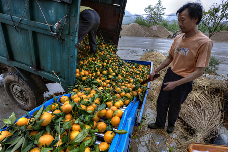 dumps: Yangshuo, Guangxi, China - March 31, 2010: Fruit handling systems, Line for the washing - waxing and sorting for oranges, Asian farmer unloads harvest oranges on a conveyor belt, truck dumps citrus. Editorial