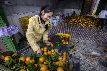 sorted: Yangshuo, Guangxi, China - March 31, 2010: Fruit handling systems, Oranges being washed sorted and graded after harvest in a packing house near Guilin. Girl works for an orange farm.