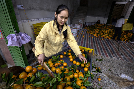 sorted: Yangshuo, Guangxi, China - March 31, 2010: Fruit handling systems, Many oranges on a conveyor belt, girl sorted harvest.