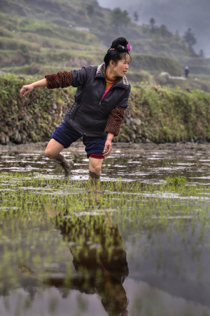 planted: Xijiang miao village, Guizhou Province, China - april 18, 2010: Chinese farmer girl Transplanting Rice Seedlings into the Rice Paddy. Young peasant woman walking barefoot through mud of paddy fields.