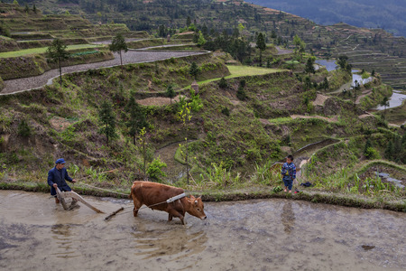 17 years: Xijiang, Guizhou Province, China - april 17, 2010: Terraces of rice fields on hillsides, Chinese farmers cultivates land plow, which drags red bull, boy about 8 years old, looking at work of peasant.