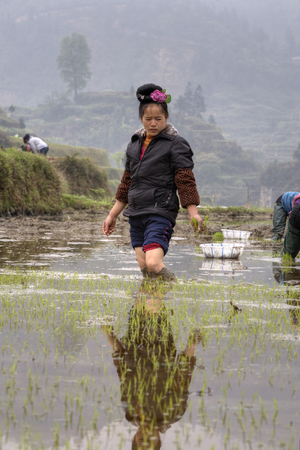 agriculturalist: Xijiang miao village, Guizhou Province, China - april 18, 2010: Chinese peasant young girl with a rose in her hair, standing knee-deep in the water in the rice fields, her bare feet mired in the mud.