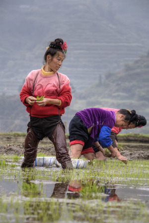 agriculturalist: Xijiang miao village, Guizhou Province, China - april 18, 2010: Asian women farmers busy with early-rice planting crops in SW China.