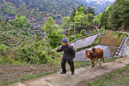 reins: Xijiang miao village, Guizhou Province, China - april 17, 2010: Chinese peasant climbs up the mountain trail, holding the reins of a red cow.