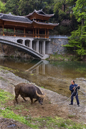 domestication: Langde Village, Guizhou, China - April 16, 2010: Asian farmer teaches bull by reins of power, about  Bridge. Editorial