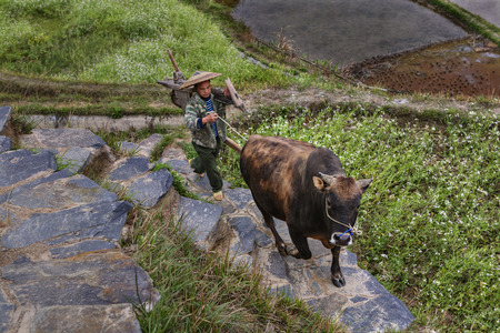 ricefield: Xijiang miao village, Guizhou Province, China - april 17, 2010: Asian farmer leads the reins brown buffalo, up the hill. Editorial