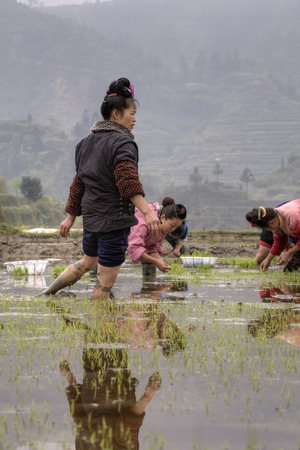 planted: Xijiang miao village, Guizhou Province, China - april 18, 2010: Young Asian peasant girl walks barefoot through rice field, her feet are knee-deep in mud. Editorial