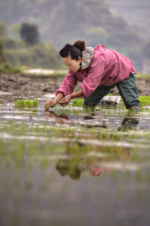 ricefield: Xijiang miao village, Guizhou Province, China - april 18, 2010: Young Asian woman farmer in a pink jacket and green waterproof trousers, busy planting rice seedlings in the flooded rice field. Editorial