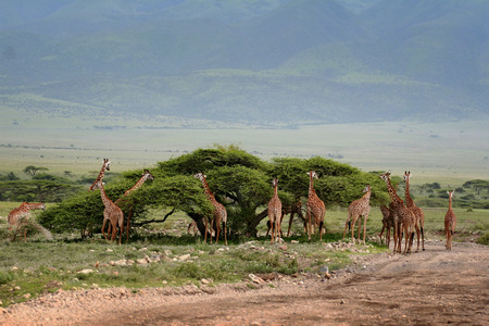 Herd wild herbivorous cloven-hoofed animals, giraffes African savannah, Serengeti, Tanzania.