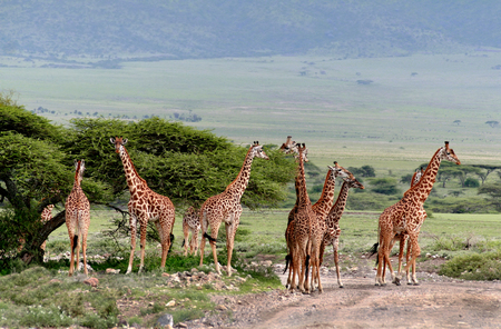Wild animals of Africa, a herd of giraffes crossing the road in the Serengeti reserve. Stock Photo