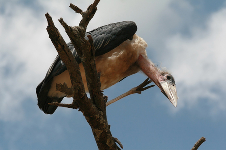 a large bird of prey: Marabou stork looks down, sitting on a branch of dry wood, Serengeti National Park, Tanzania. Stock Photo