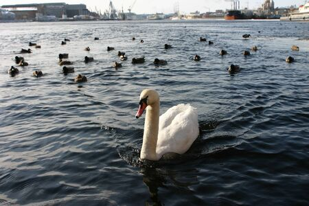 navigable: Wild white swan in an urban environment, a navigable river Neva, the industrial district, the city center, Saint Petersburg, Russia.