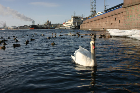 navigable: Lonely white swan floats in river navigable urban, Saint Petersburg, Russia.