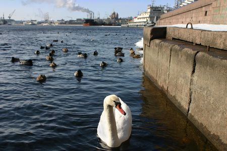 swimming swan: Wild white swan swims in river city, an urban environment.