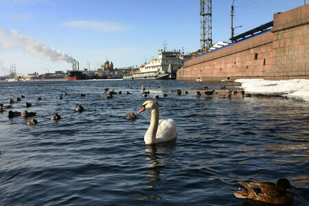 swimming bird: Wild white swan swims in river city on the background of the industrial landscape.