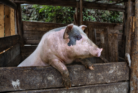bacon portrait: One Muddy hog, dirty domestic Pig standing on the hind legs, leaning on a fence.