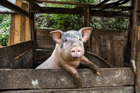 pigling: One filthy hog in manure,  dirty pig hanging on a fence.