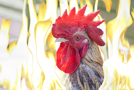 henhouse: Close up of rooster�head in flames, 2017 will be the year of fire rooster� according to the Chinese, the eastern calendar.