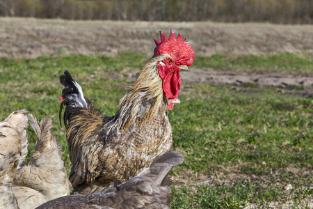 barndoor: Cock protects chickens for a walk in the field, spring time, sunny day. Stock Photo