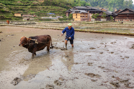 plough land: Zhaoxing Dong Village, Guizhou Province, China -  April 9, 2010: Chinese farmer to plough the soil to rice field, drenched with water, using the power of the red cow. Editorial