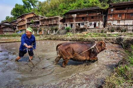 Jilun Dong Village, Guizhou Province, China -  April 9, 2010: Asian peasant plows ground at flooded paddy field, using force of brown cow. Editorial