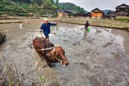 ricefield: Zhaoxing Dong Village, Guizhou Province, China -  April 9, 2010: Chinese farmer plows the land of rice fields, using the force of the red cow.