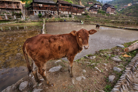 field work: Zhaoxing Dong Village, Guizhou Province, China -  April 9, 2010: Red Calf stands on the edge of a rice field, flooded, field work in the settlement of ethnic Dong. Editorial