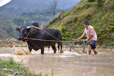 ricefield: Zhaoxing Dong Village, Guizhou Province, China -  April 9, 2010: Chinese farmer cultivates rice field, his bull pulling a plow.